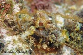 scorpian fish